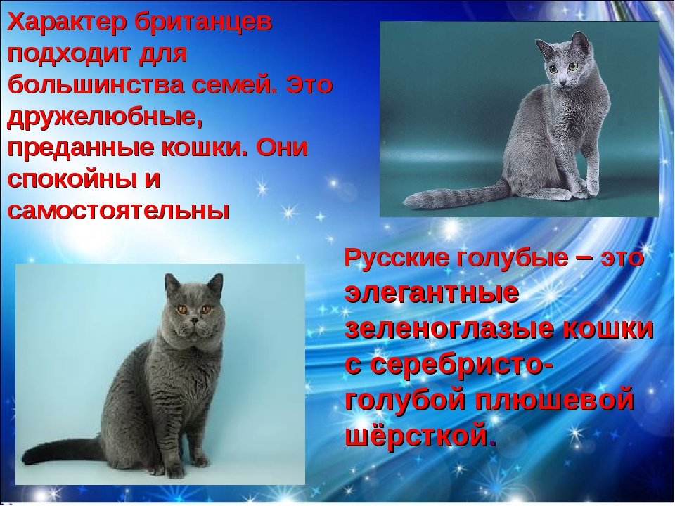 Русские голубые – это элегантные зеленоглазые кошки с серебристо-голубой плюш...