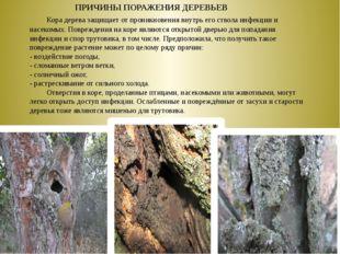 Кора дерева защищает от проникновения внутрь его ствола инфекции и насекомы