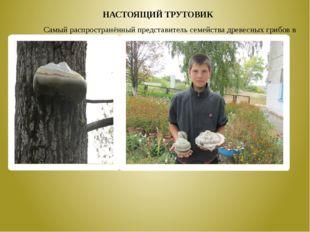 Самый распространённый представитель семейства древесных грибов в лесу – н