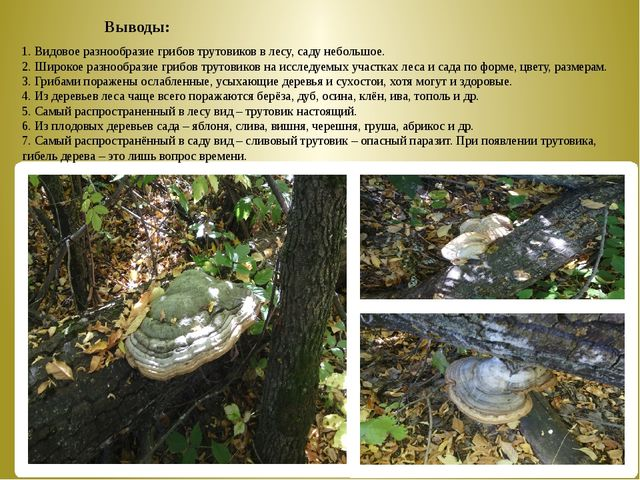 Выводы: 1. Видовое разнообразие грибов трутовиков в лесу, саду небольшо...