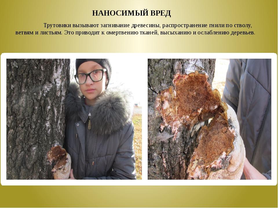 Трутовики вызывают загнивание древесины, распространение гнили по стволу,...