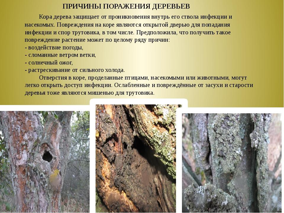 Кора дерева защищает от проникновения внутрь его ствола инфекции и насекомы...