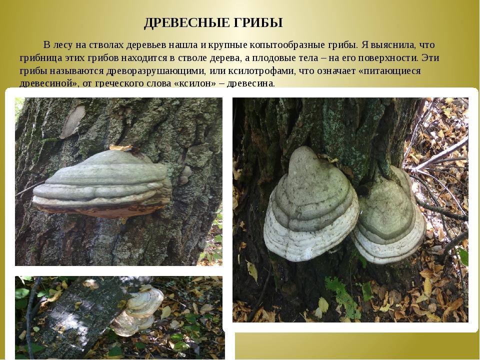 В лесу на стволах деревьев нашла и крупные копытообразные грибы. Я выяснила,...