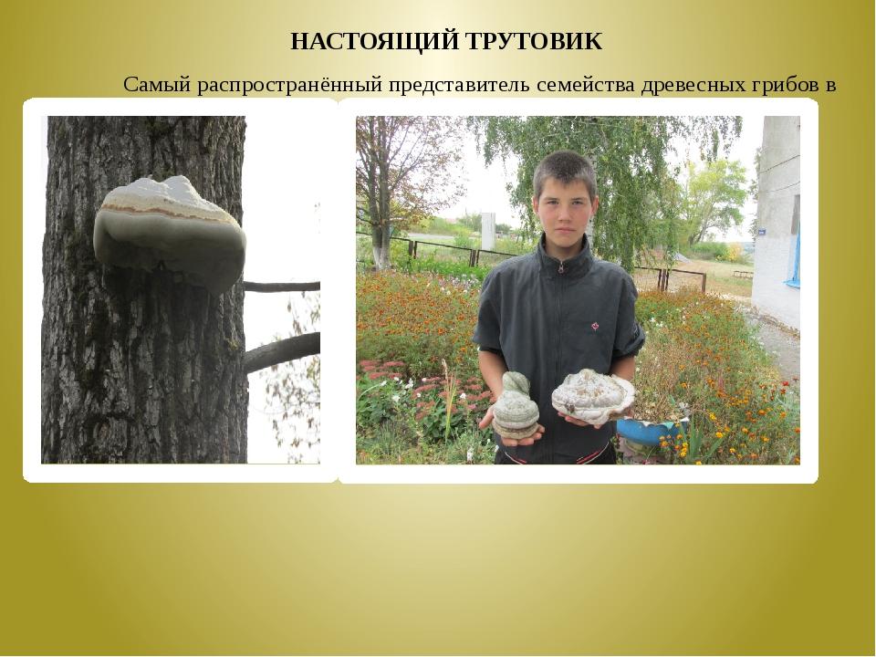 Самый распространённый представитель семейства древесных грибов в лесу – н...