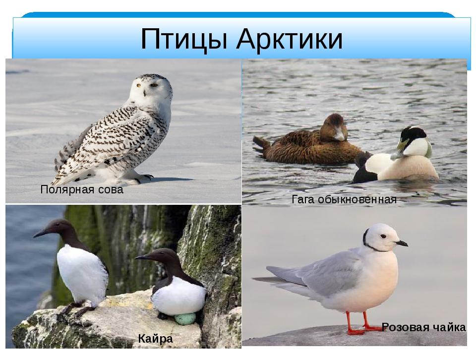 Птицы Арктики Полярная сова Кайра Гага обыкновенная Розовая чайка