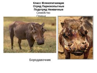 Класс Млекопитающие Отряд Парнокопытные Подотряд Нежвачные Семейство Свиньи Б