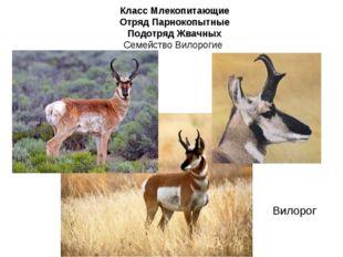 Класс Млекопитающие Отряд Парнокопытные Подотряд Жвачных Семейство Вилорогие