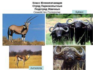Класс Млекопитающие Отряд Парнокопытные Подотряд Жвачных Семейство Полорогие