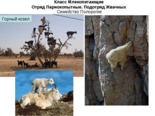 Класс Млекопитающие Отряд Парнокопытные. Подотряд Жвачных Семейство Полорогие