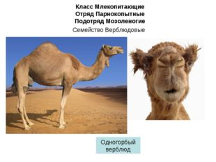 Класс Млекопитающие Отряд Парнокопытные Подотряд Мозоленогие Семейство Верблю