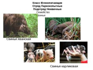Класс Млекопитающие Отряд Парнокопытные Подотряд Нежвачные Семейство Свиньи С