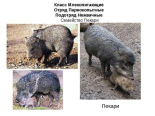 Класс Млекопитающие Отряд Парнокопытные Подотряд Нежвачные Семейство Пекари П