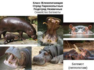 Класс Млекопитающие Отряд Парнокопытные Подотряд Нежвачные Семейство Бегемоты