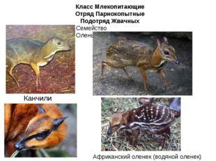 Класс Млекопитающие Отряд Парнокопытные Подотряд Жвачных Семейство Оленьковые