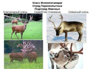 Класс Млекопитающие Отряд Парнокопытные Подотряд Жвачных Семейство Оленевые С