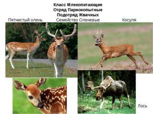 Класс Млекопитающие Отряд Парнокопытные Подотряд Жвачных Семейство Оленевые К