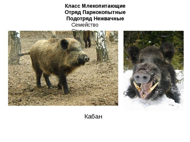 Класс Млекопитающие Отряд Парнокопытные Подотряд Нежвачные Семейство Свиньи К...