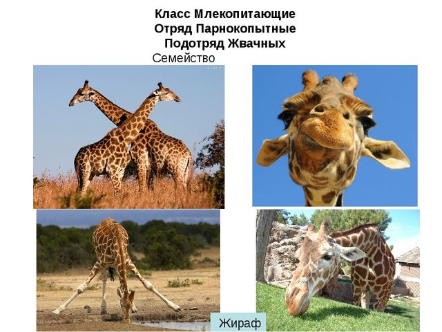 Класс Млекопитающие Отряд Парнокопытные Подотряд Жвачных Семейство Жирафовые...