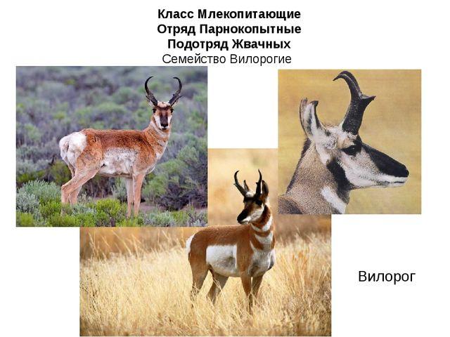 Класс Млекопитающие Отряд Парнокопытные Подотряд Жвачных Семейство Вилорогие...