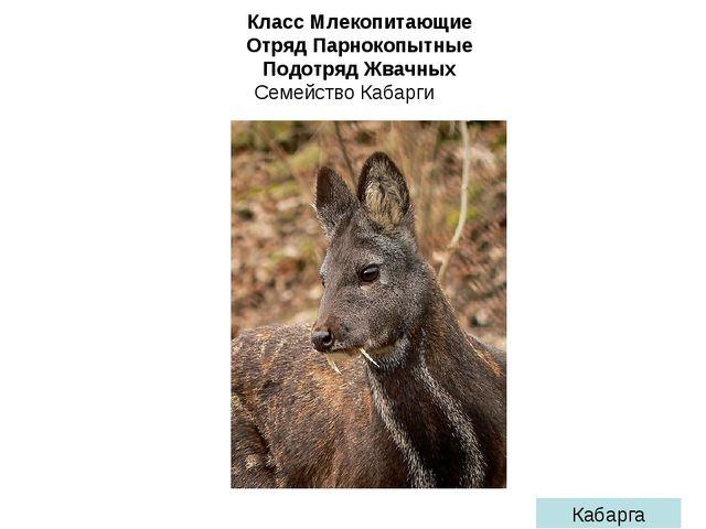 Класс Млекопитающие Отряд Парнокопытные Подотряд Жвачных Семейство Кабарги Ка...