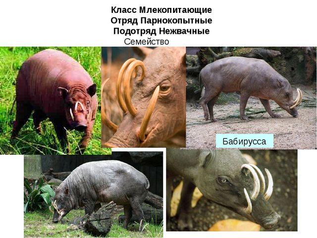 Класс Млекопитающие Отряд Парнокопытные Подотряд Нежвачные Семейство Свиньи Б...