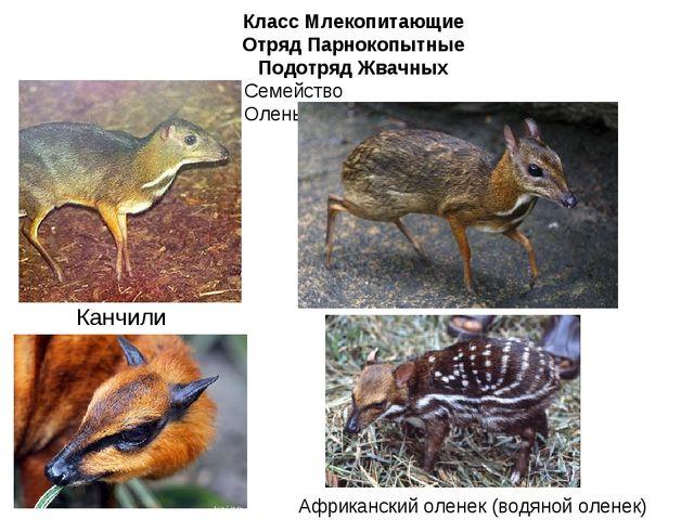 Класс Млекопитающие Отряд Парнокопытные Подотряд Жвачных Семейство Оленьковые...