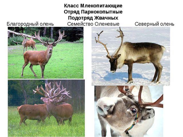 Класс Млекопитающие Отряд Парнокопытные Подотряд Жвачных Семейство Оленевые С...