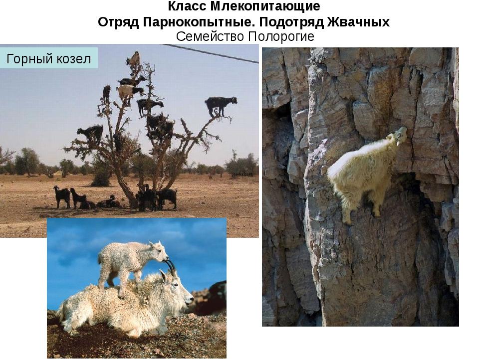 Класс Млекопитающие Отряд Парнокопытные. Подотряд Жвачных Семейство Полорогие...