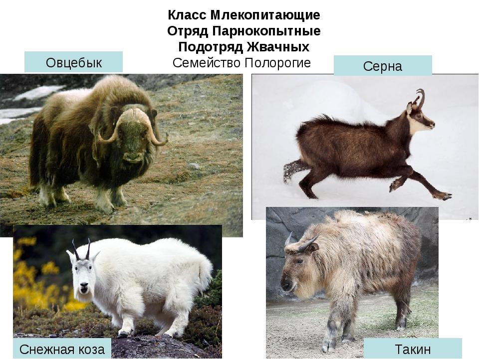 Класс Млекопитающие Отряд Парнокопытные Подотряд Жвачных Семейство Полорогие...