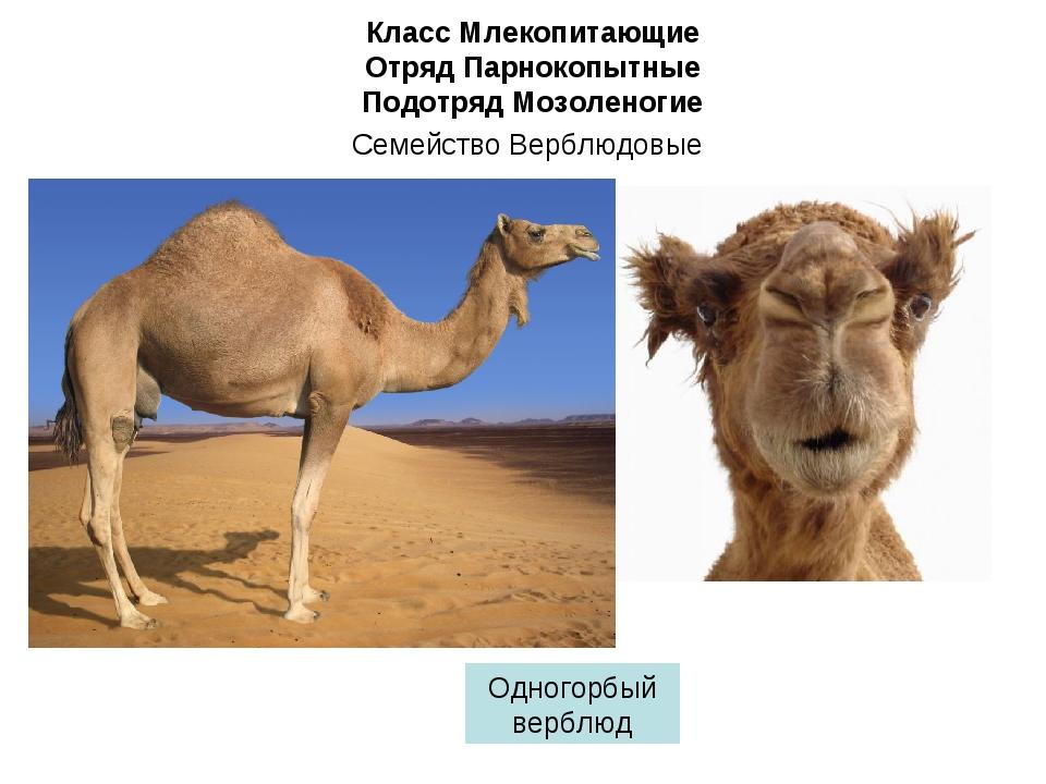 Класс Млекопитающие Отряд Парнокопытные Подотряд Мозоленогие Семейство Верблю...
