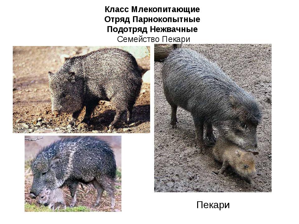 Класс Млекопитающие Отряд Парнокопытные Подотряд Нежвачные Семейство Пекари П...