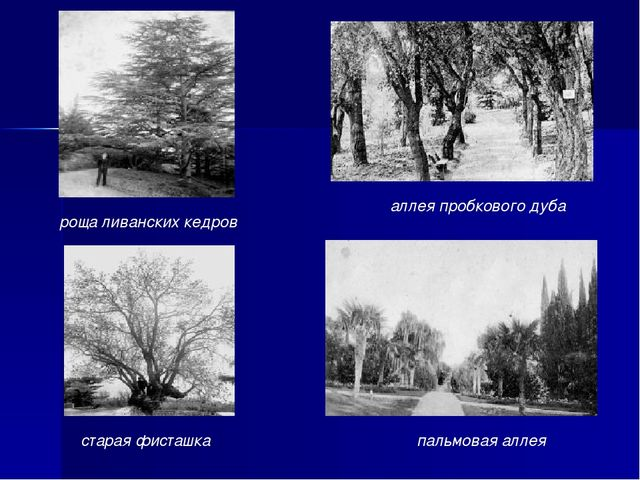 старая фисташка пальмовая аллея аллея пробкового дуба роща ливанских кедров