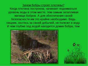 Зачем бобры строят плотины? Когда плотина построена, начинает подниматься уро