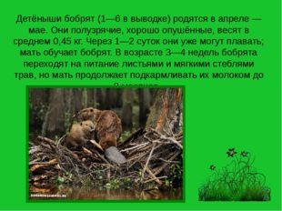 Детёныши бобрят (1—6 в выводке) родятся в апреле — мае. Они полузрячие, хорош