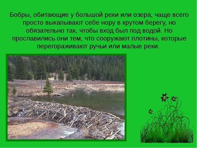Бобры, обитающие у большой реки или озера, чаще всего просто выкапывают себе...