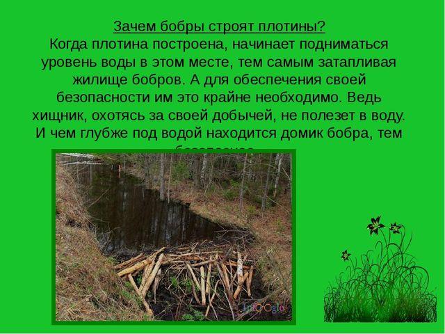 Зачем бобры строят плотины? Когда плотина построена, начинает подниматься уро...