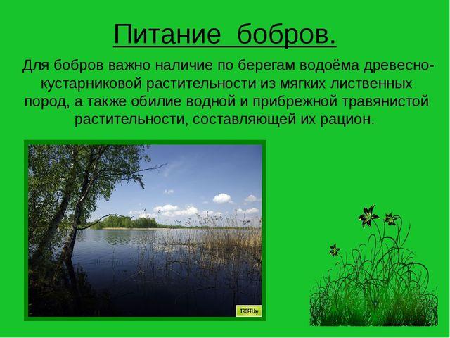 Для бобров важно наличие по берегам водоёма древесно-кустарниковой раститель...