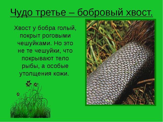 Чудо третье – бобровый хвост. Хвост у бобра голый, покрыт роговыми чешуйками....