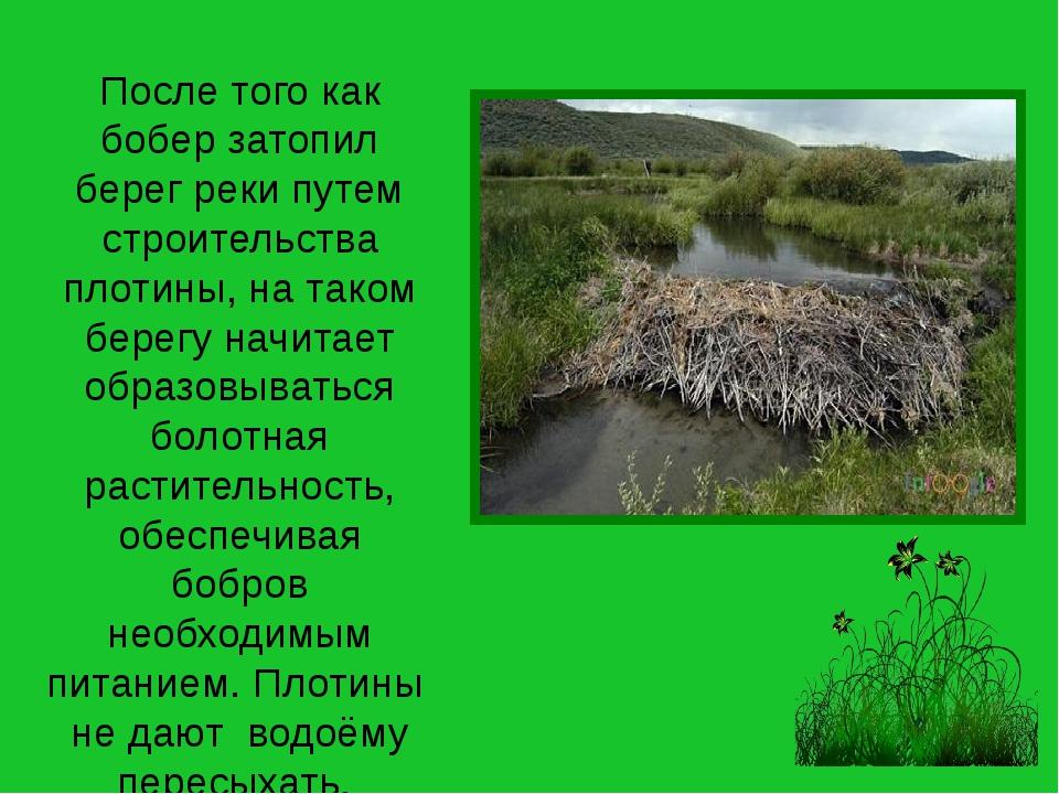 После того как бобер затопил берег реки путем строительства плотины, на таком...