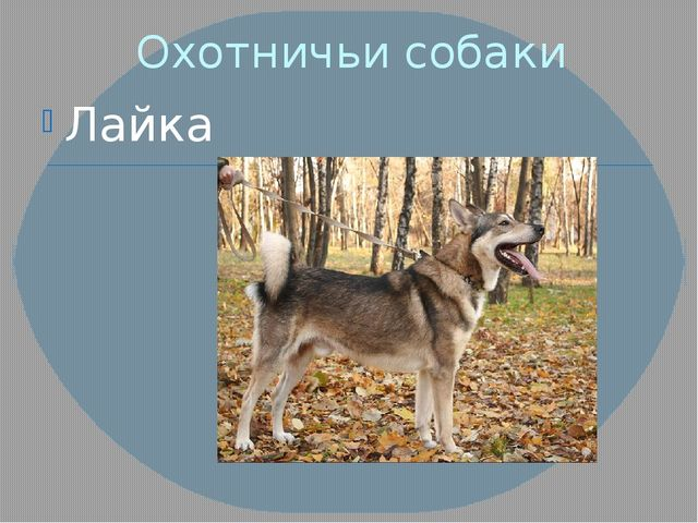 Охотничьи собаки Лайка