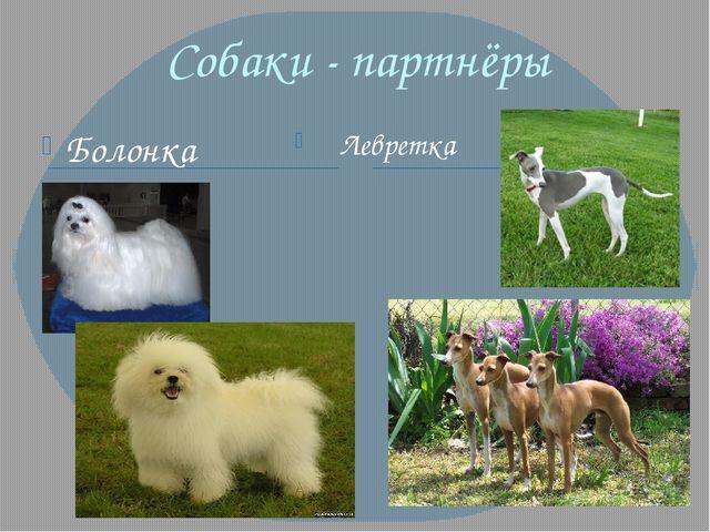 Собаки - партнёры Болонка Левретка