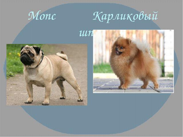 Мопс Карликовый шпиц