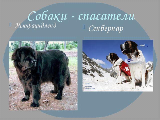 Собаки - спасатели Ньюфаундленд Сенбернар