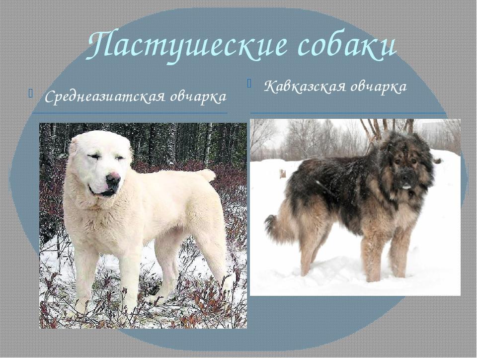 Пастушеские собаки Среднеазиатская овчарка Кавказская овчарка