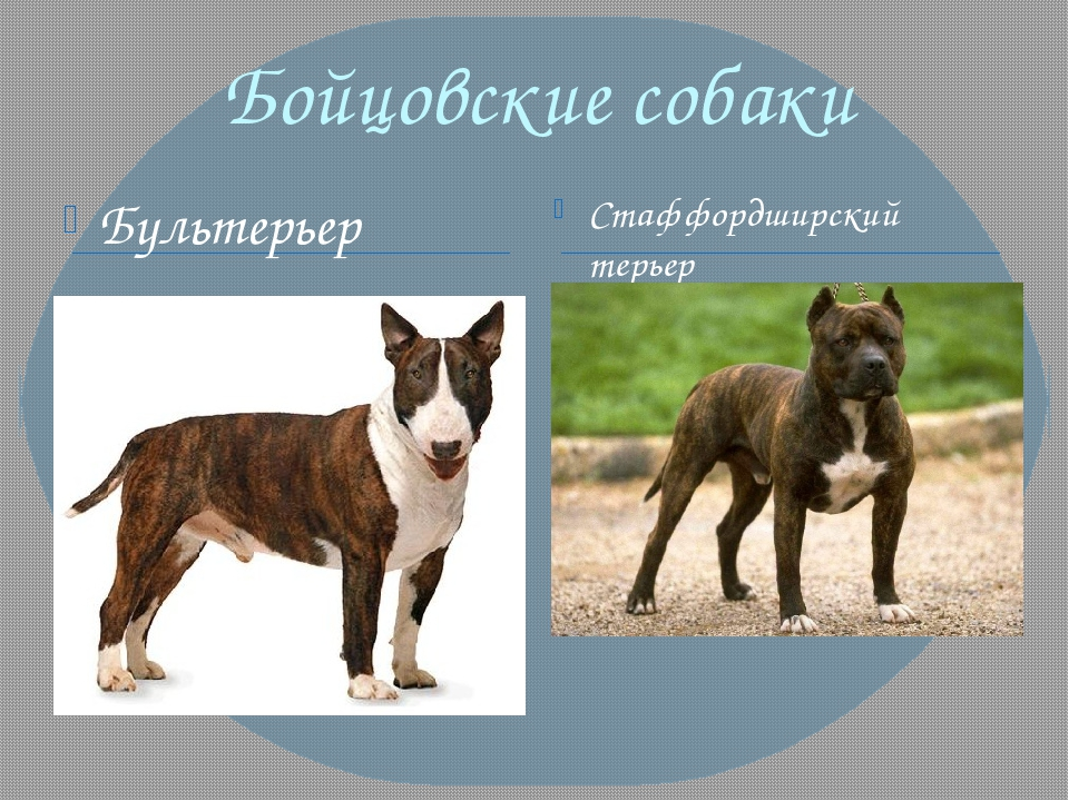 Бойцовские собаки Бультерьер Стаффордширский терьер
