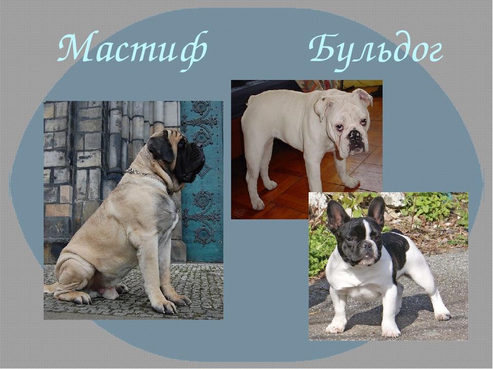 Мастиф Бульдог