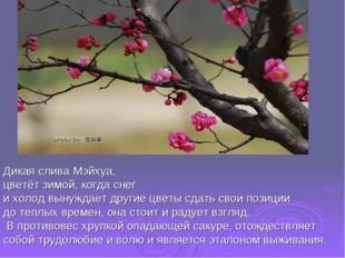 Дикая слива Мэйхуа, цветёт зимой, когда снег и холод вынуждает другие цветы с