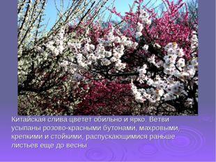 Китайская слива цветет обильно и ярко. Ветви усыпаны розово-красными бутонами
