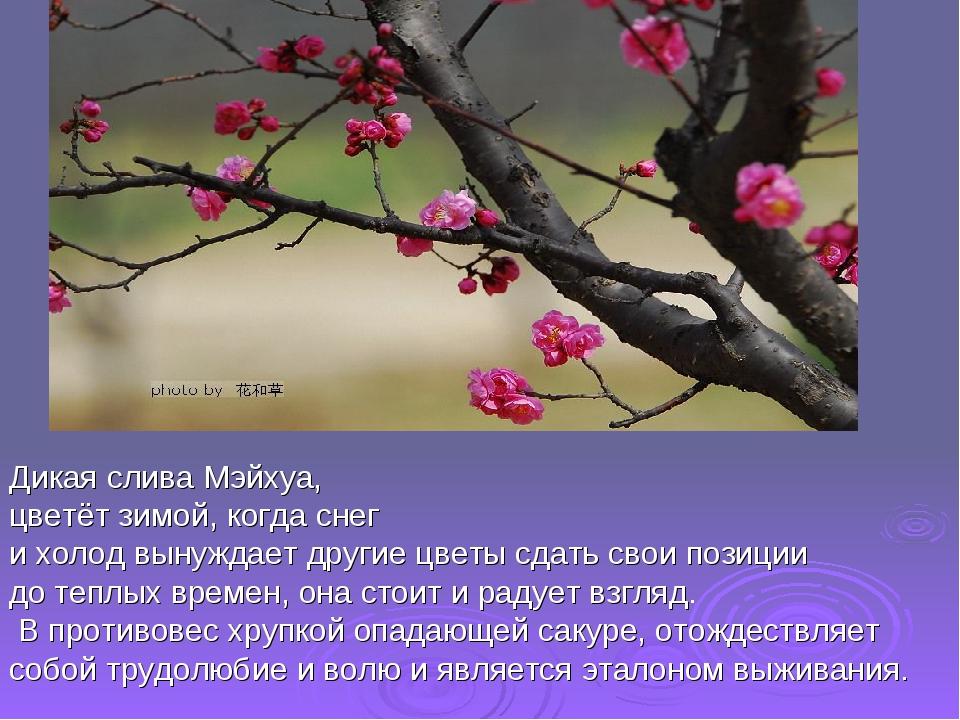 Дикая слива Мэйхуа, цветёт зимой, когда снег и холод вынуждает другие цветы с...