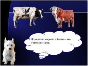 Домашние коровы и быки – это потомки туров.